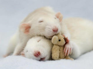 Продам декоративных крысят *-*