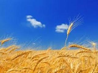 Семена пшеницы озимой от надежного производителя!