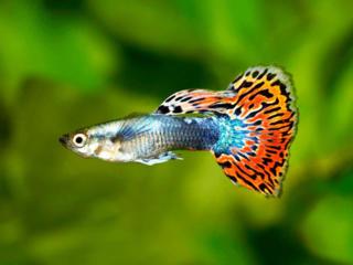 Аквариумная рыбка и креветки