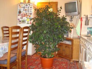 Большой шикарный фикус, китайская роза, кактусы, другие растения.