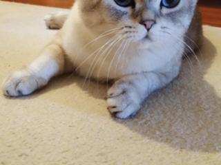 Вислоухий кот Маркиз ищет подругу!