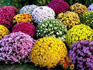 Продам хризантемы шаровидные