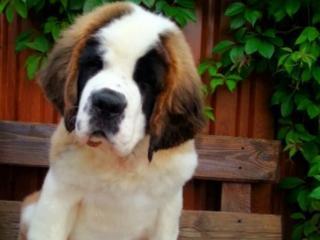 Продается щенок сенбернара.