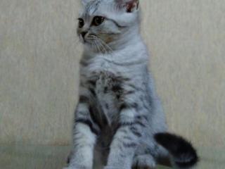 Продается шотландский котик 3 месяца.