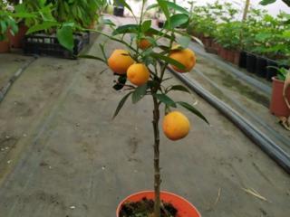 Продаю Кумкват Оника (Kumquat Onika)