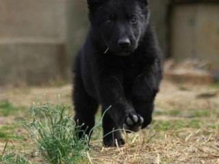 Куплю восточно-европейского щенка / мальчика, чёрного