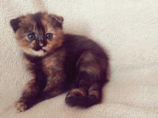 Британские котята!
