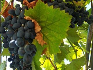 Виноград с арки 4 руб 50 коп