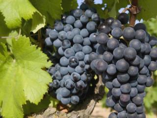 Виноград ожерянка