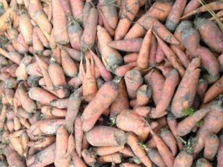 Продам свеклу и морковь на корм животным
