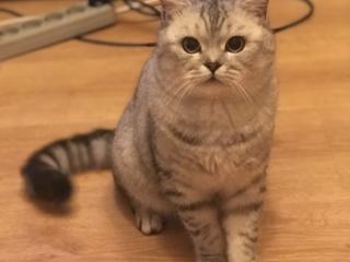 Вязка шотландский кот ждет подругу)