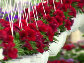 Angajăm muncitori la sere de flori în Germania.
