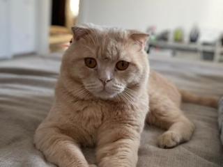 Вязка-шотландский вислоухий кот