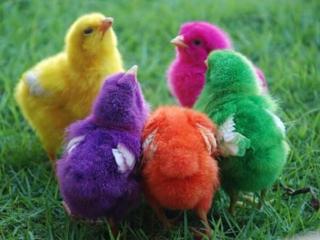 Продаем домашние цыплята