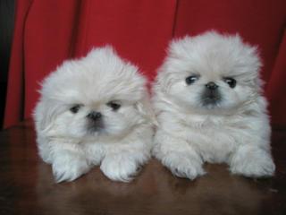 Продаются щенки королевского пекинеса