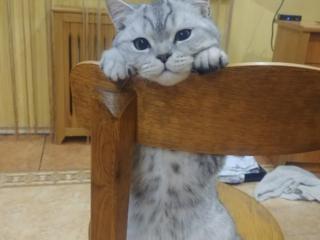Британская шиншилла (Кот) ищет кошечку
