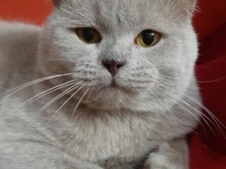 Шотландский лиловый кот приглашает кошечек на вязку.