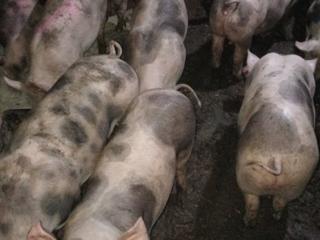 Домашние свиньи от 100 кг.