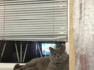 Шотландский кот ищет подружку