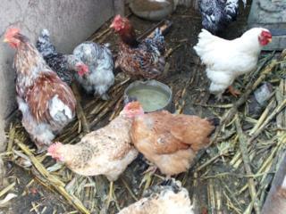 Продам Цыплят и Гусят