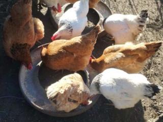 Яйца инкубационные куриные домашние