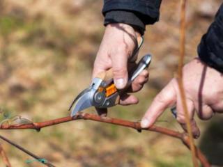 КАЧЕСТВЕННАЯ ОБРЕЗКА Подвязка винограда, деревьев кустарников недорого