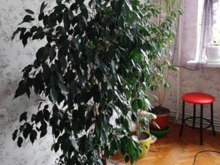 Ficus! Foarte frumos! Flori de camera.