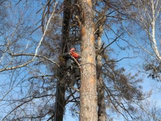 Распил деревьев любой сложности