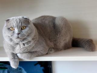 Шотландский вислоухий кот предлагает свои услуги для вязки!