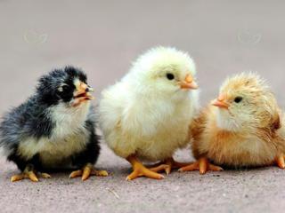Суточные цыплята в Тирасполе