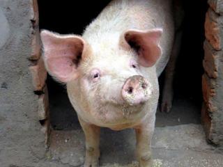 Продам домашних молодых свиней