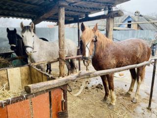Продам лошадей кобылы 3 шт