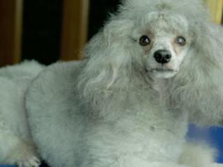 Стрижка (Груминг) собак мелких пород. Бельцы