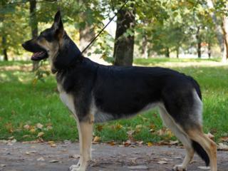 Недорого щенки восточно-европейской овчарки