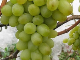 Перепрививка винограда на месте.