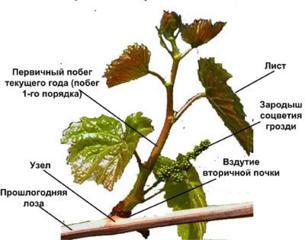 Качественно обрежу и подвяжу деревья, виноград, кустарники и т. Д.