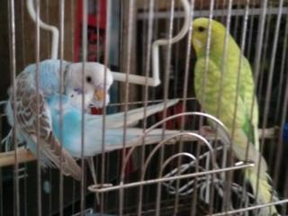 Продам 2-х волнистых попугаев