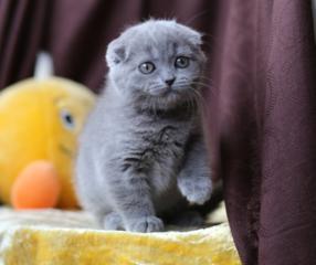 Шотландские котята-плюшевые медвежата! )