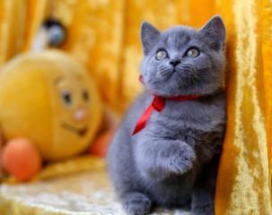 Шикарная шотландская кошечка, с отличной родословной!
