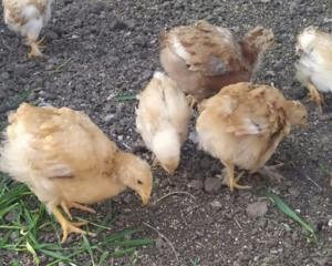 Продаются месячные цыплята, мясояичная порода,