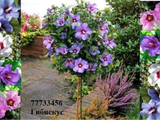 Продаём Гибискус кусты деревья саженцы в Приднестровье