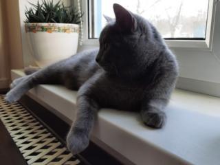Ищем кота британца вислоухого для вязки!