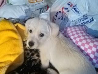 Продам щенка, гладкошерстный пинчер, мальчик, белый