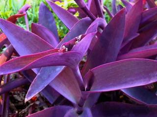 Неприхотливые комнатные растения Сеткреазия