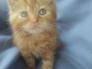 Срочно продам шотланских котят