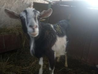 Продаются две козы, и два маленьких козленка. Находятся в с. Чобручи.