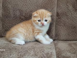Шотландские котята от чистокровных родителей.