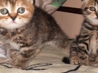 Продам шотландских вислоухих котиков