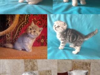 Шотландские котята малышата