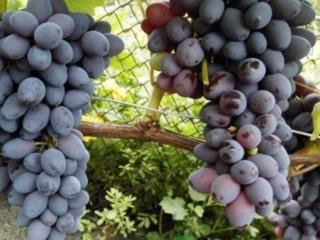Помощь в уходе за виноградом